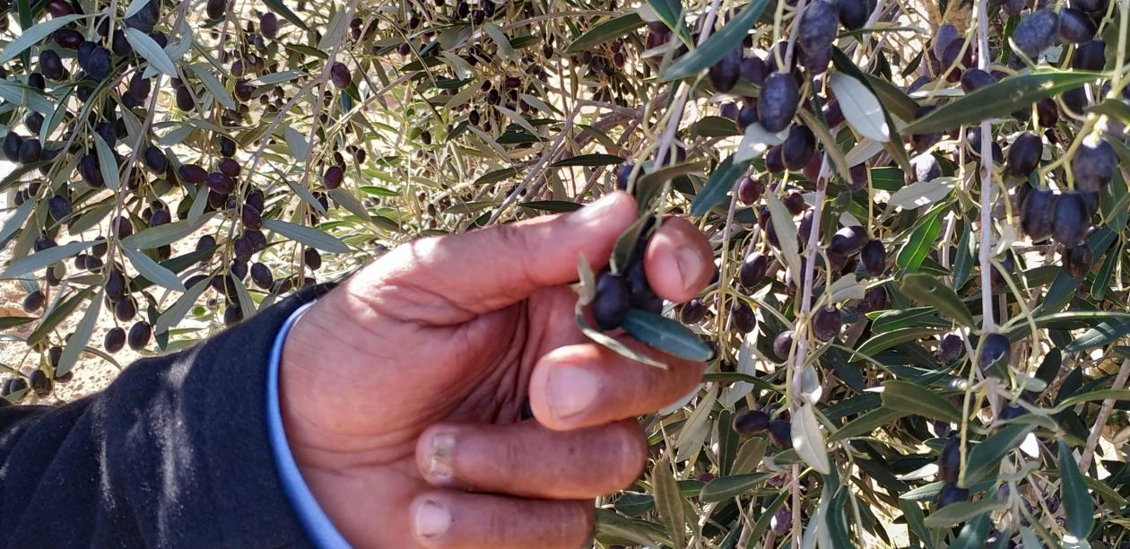 A farmer cultivating traditional olive varieties in the south of Tunisia.